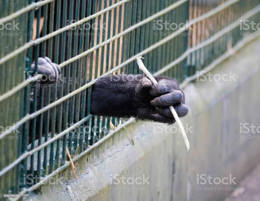 Young ape reaching through bars of cage. stock photo