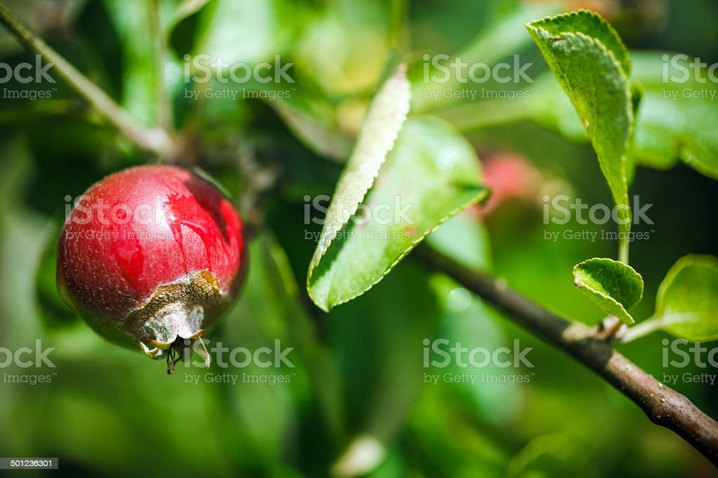 Young apple fruit royalty-free stock photo