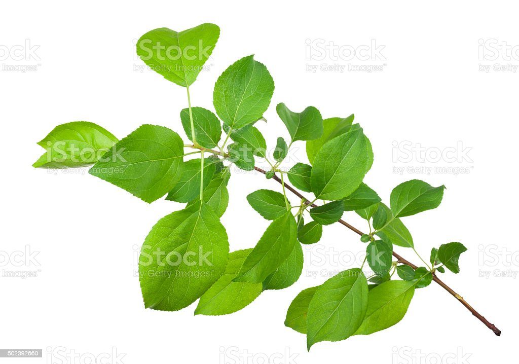 Young apple tree branch stock photo
