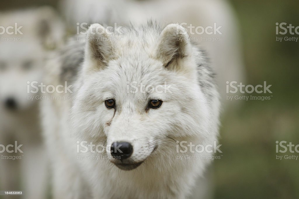Young Arctic Wold Cub in Fall stock photo