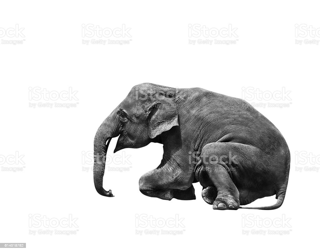 young asia elephant sitting show stock photo