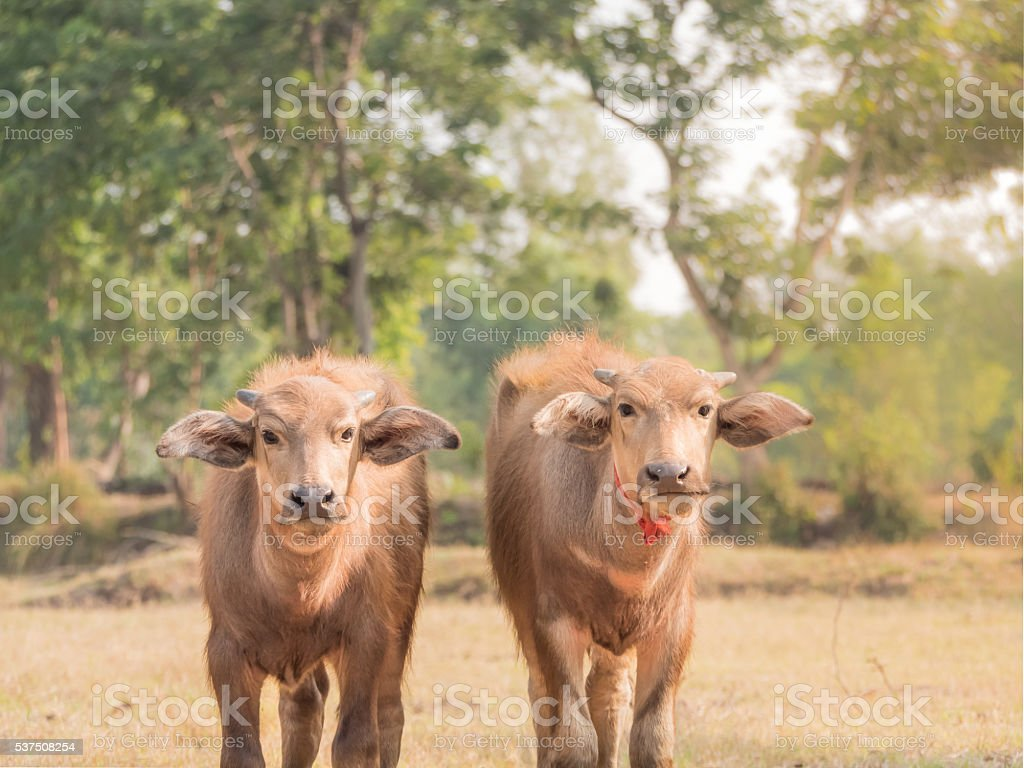 Young Asian buffaloes in rice field. stock photo