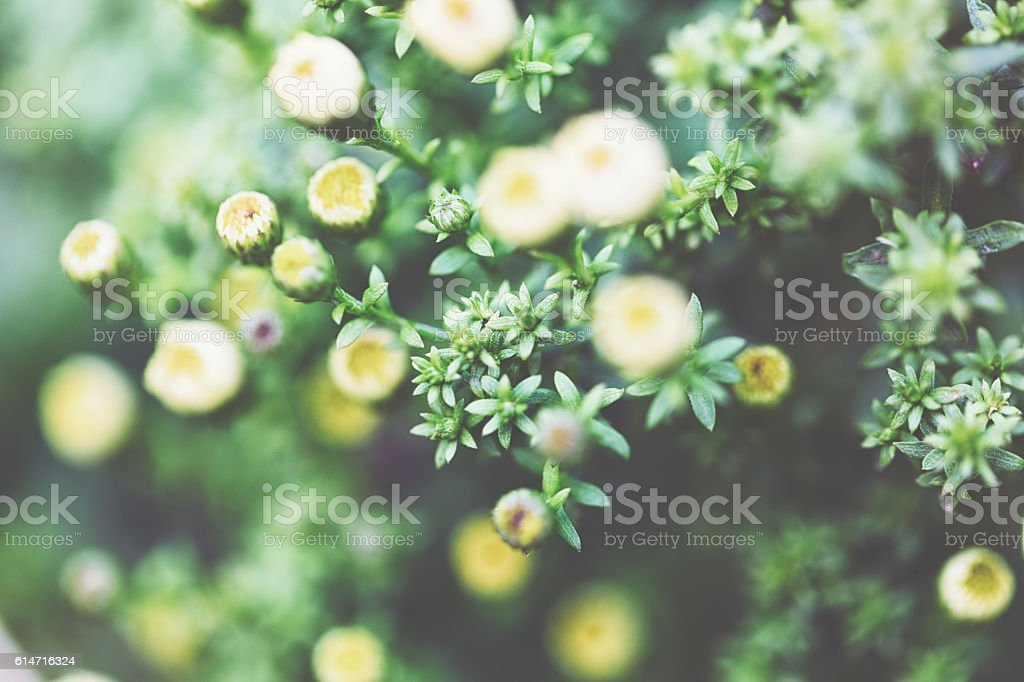 Young Aster stock photo