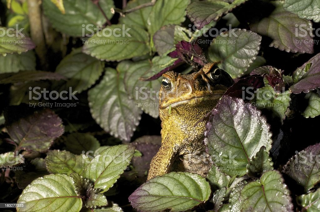 Young Australian Cane Toad stock photo