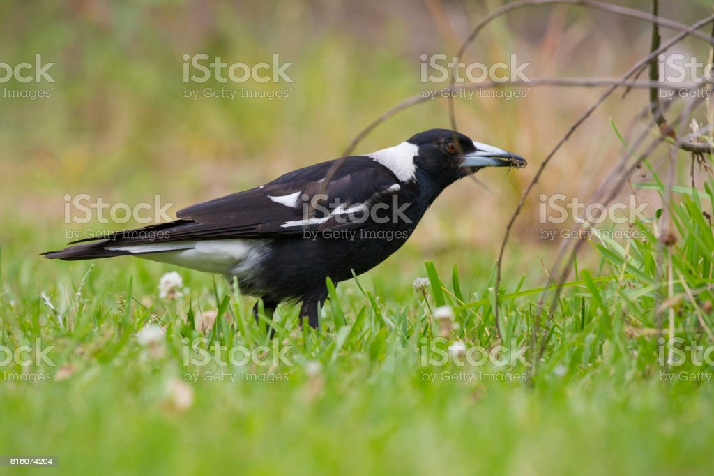 A young Australian Magpie searches through the green grass for food stock photo