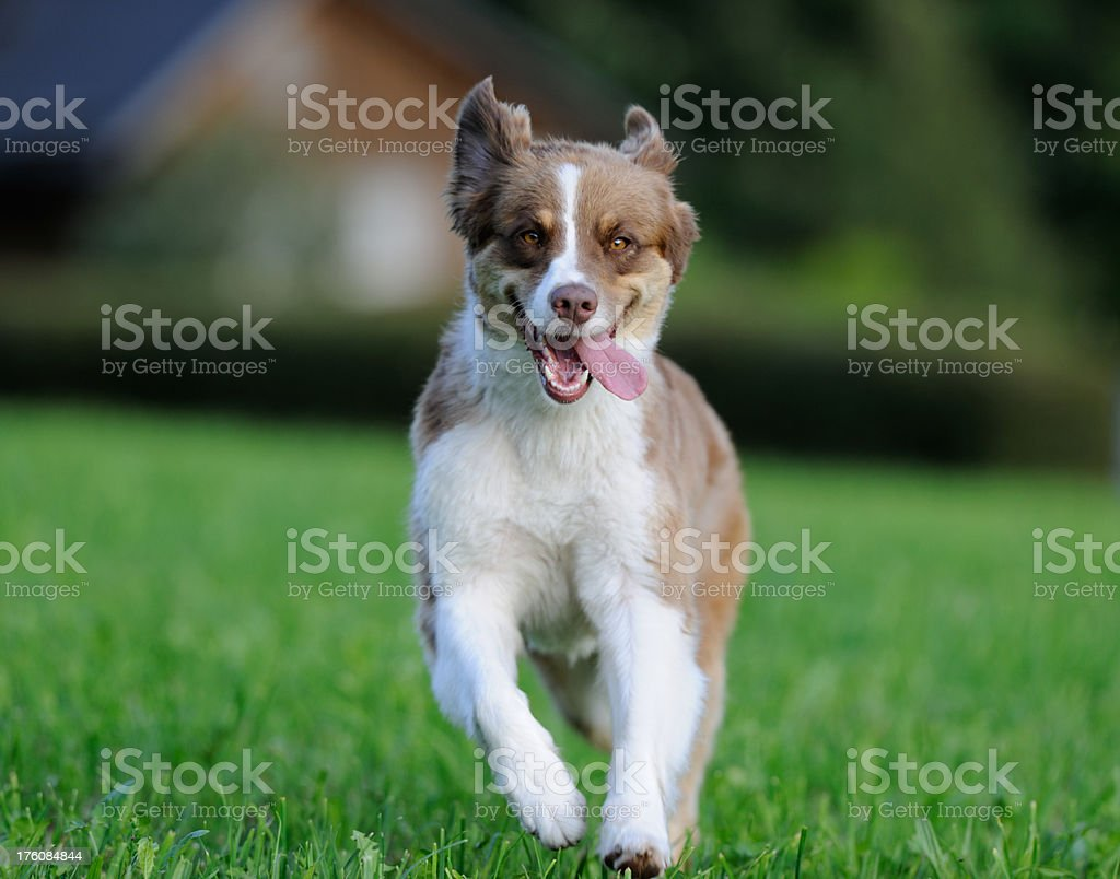 Young Australian Shepherd playing outside in the meadows (XXXL) royalty-free stock photo