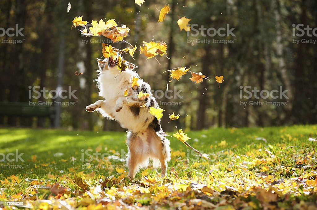young Australian shepherd playing with leaves royalty-free stock photo