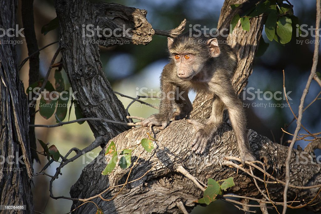 Young Baboon royalty-free stock photo
