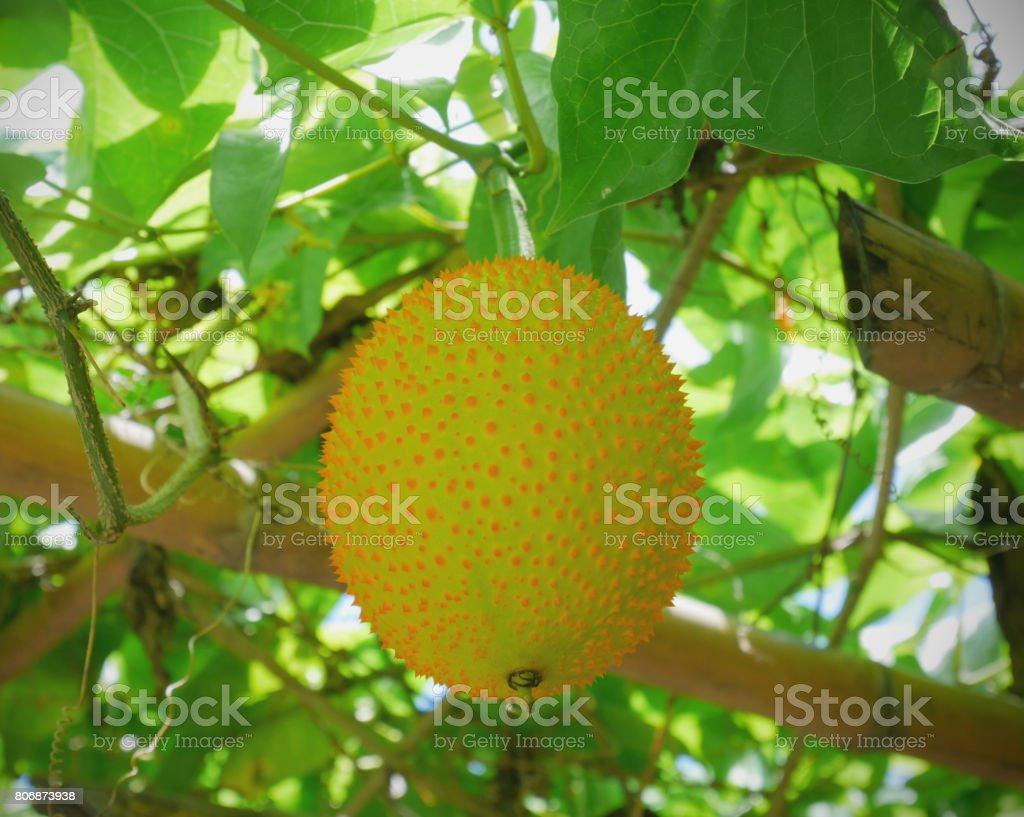 Young baby jackfruit on the vine stock photo