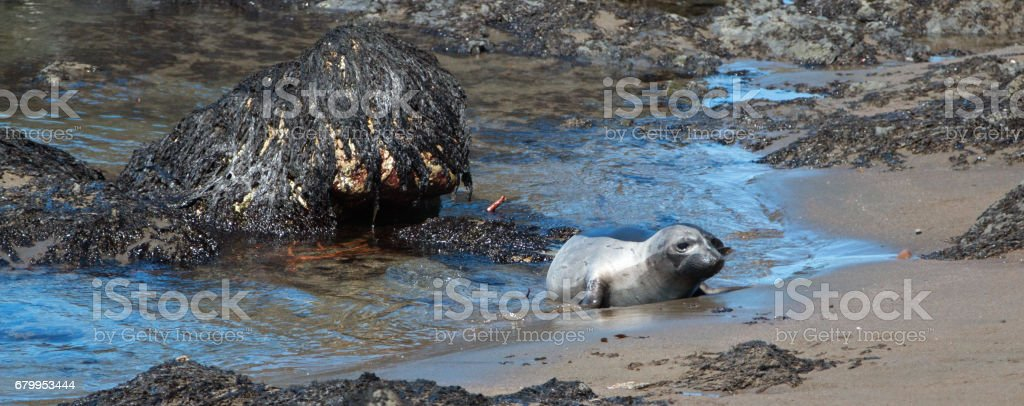 Young Baby Northern Elephant Seal at Piedras Blancas Elephant Seal colony on California Central Coast USA stock photo