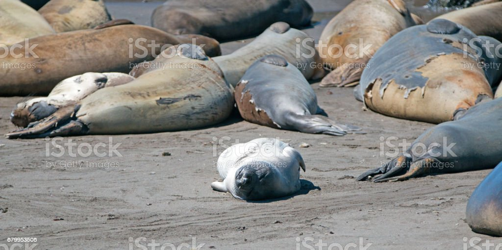 Young Baby Northern Elephant Seal warming in sunlight at Piedras Blancas Elephant Seal colony on California Central Coast USA stock photo