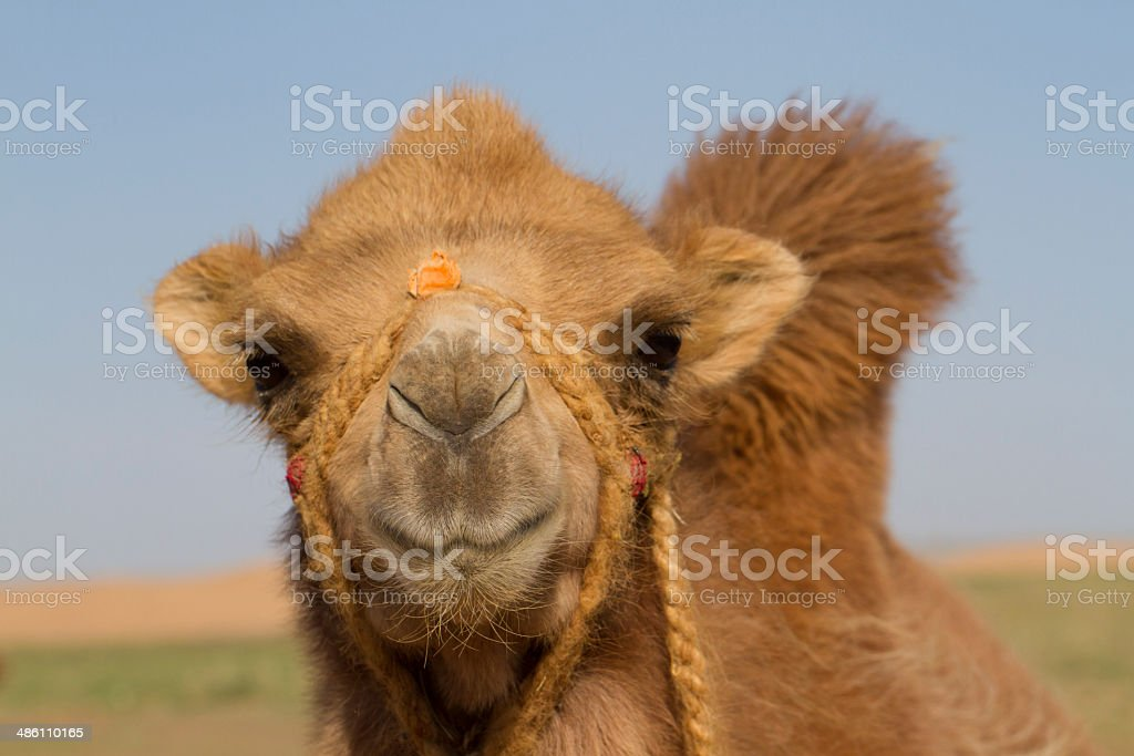 Young Bactrian Camel Closeup stock photo