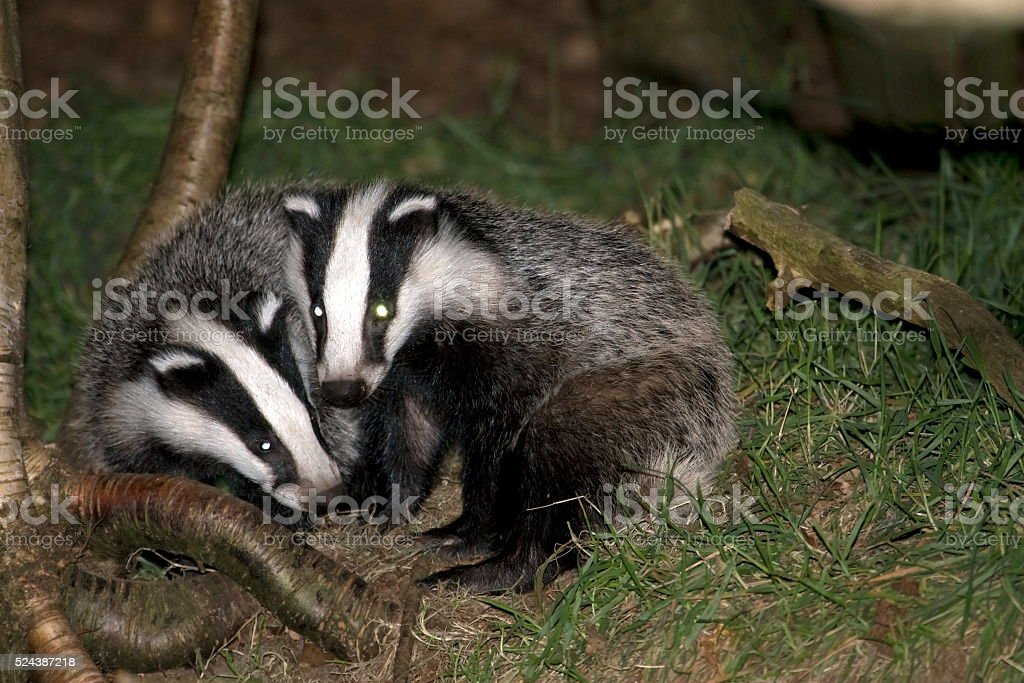 Young Badgers play in the forest stock photo