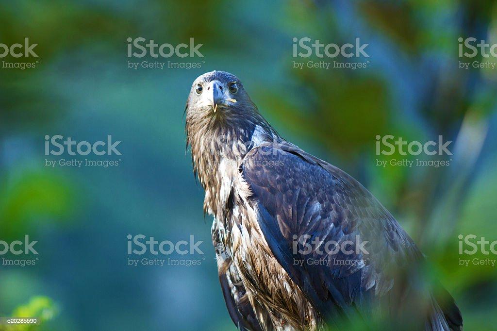 Young Bald Eagle stock photo