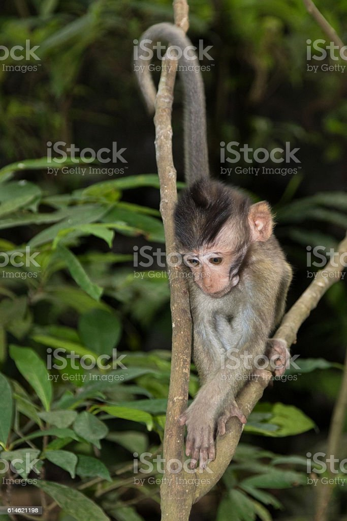 Young Balinese Long-Tailed Monkey stock photo