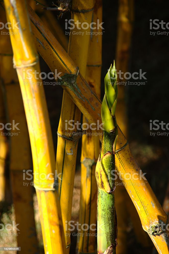 Young Bamboo royalty-free stock photo