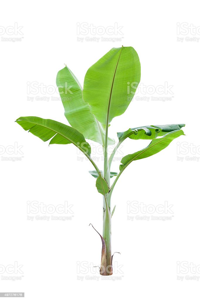Young banana tree isolated on white background,with clipping pat stock photo