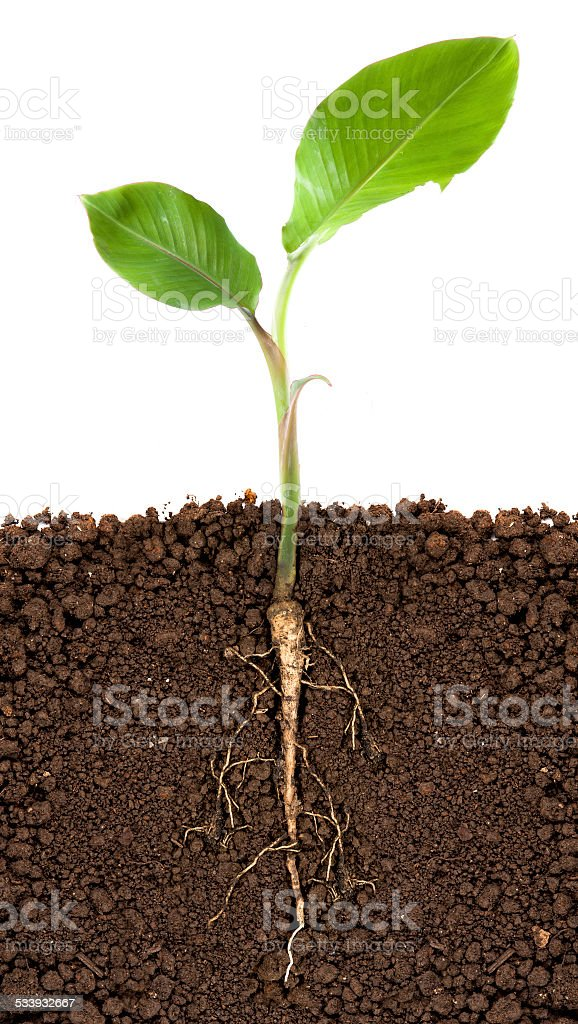 Young banana tree with underground root visible stock photo