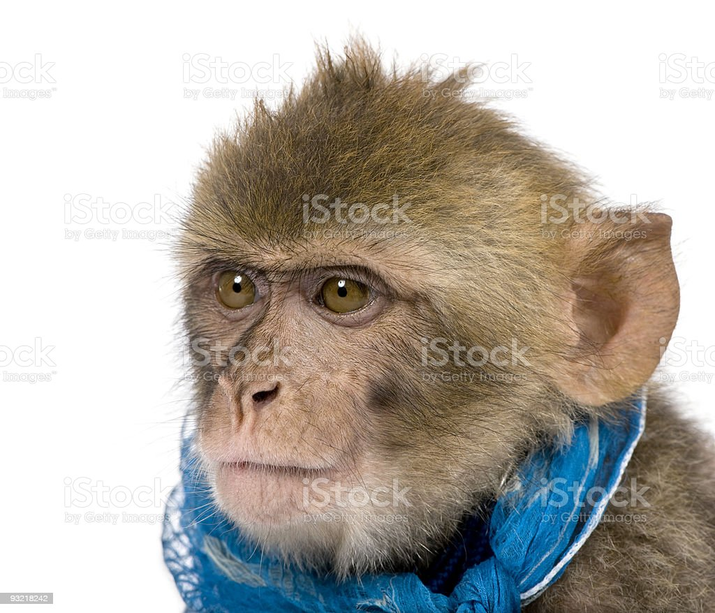 Young Barbary Macaque, Macaca Sylvanus against white background stock photo
