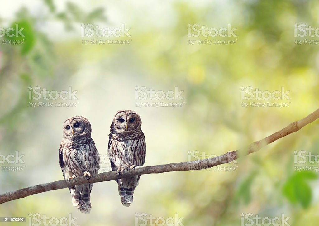 Young Barred Owls stock photo