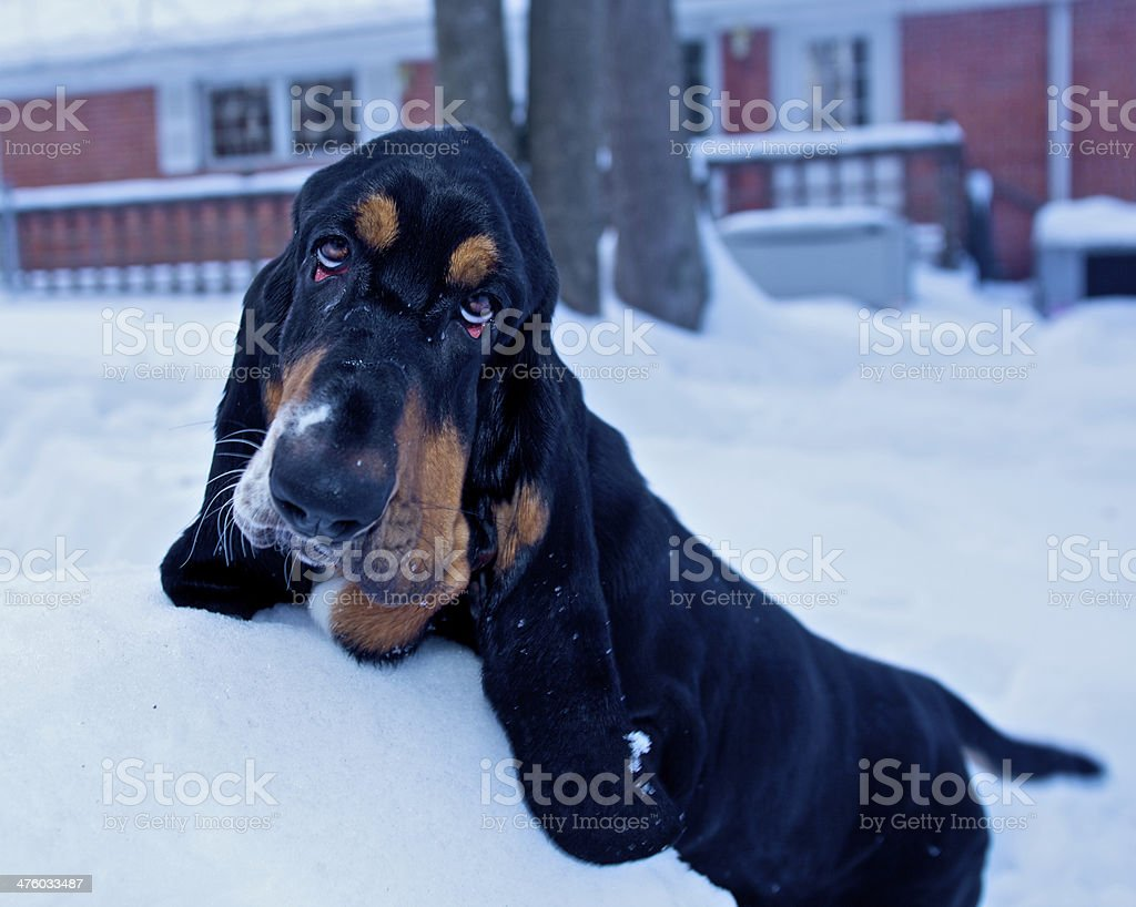 Young Basset stock photo
