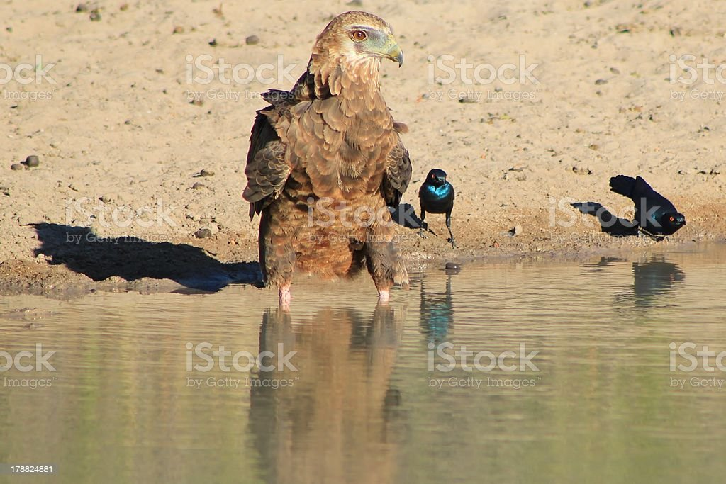 Young Bateleur Eagle befriends Glossy Starlings stock photo
