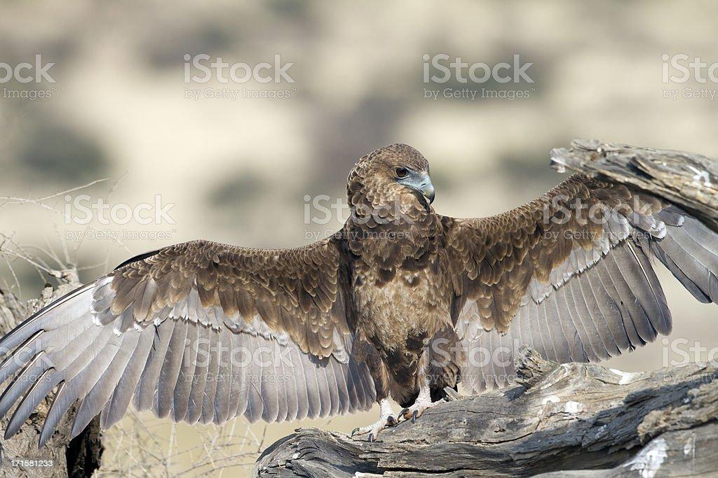 Young Bateleur, Kgalagadi Transfrontier Park, South Africa stock photo