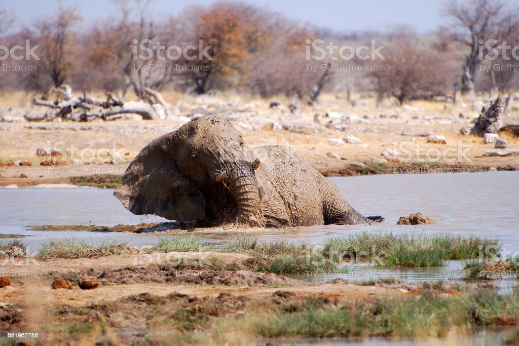 Young bathing Elephant in a waterhole in the Etosha National Park in Namibia stock photo