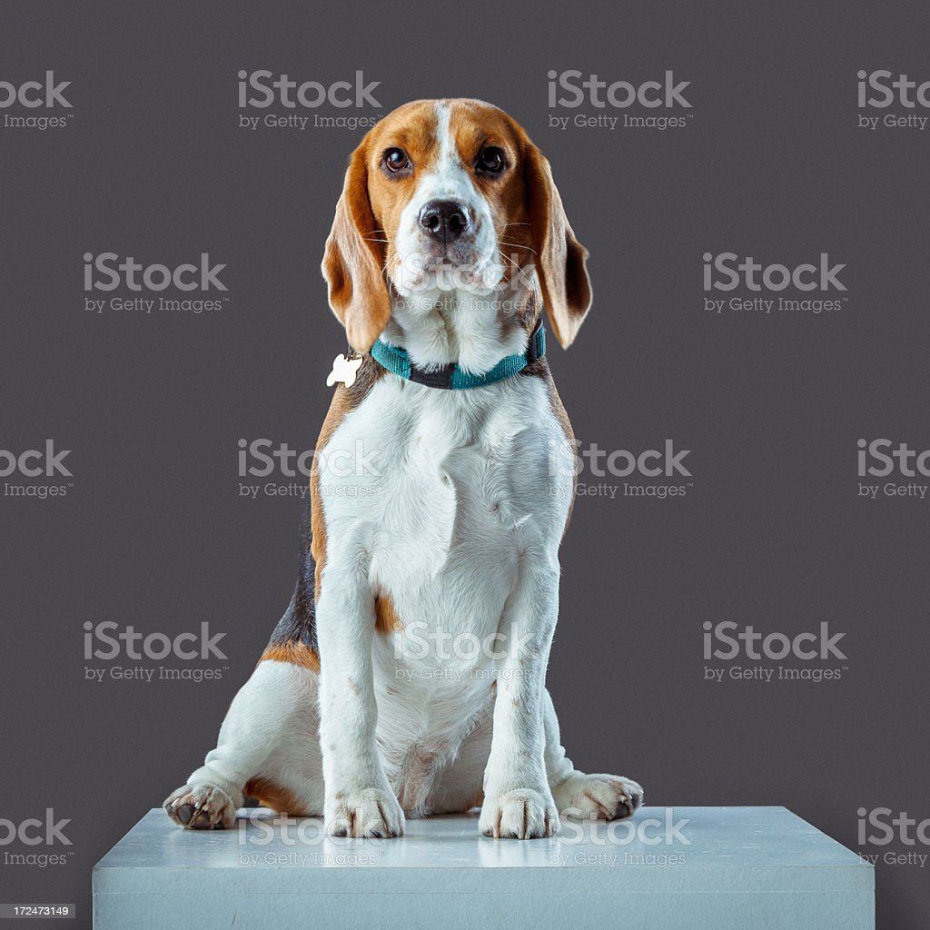 Young Beagle royalty-free stock photo
