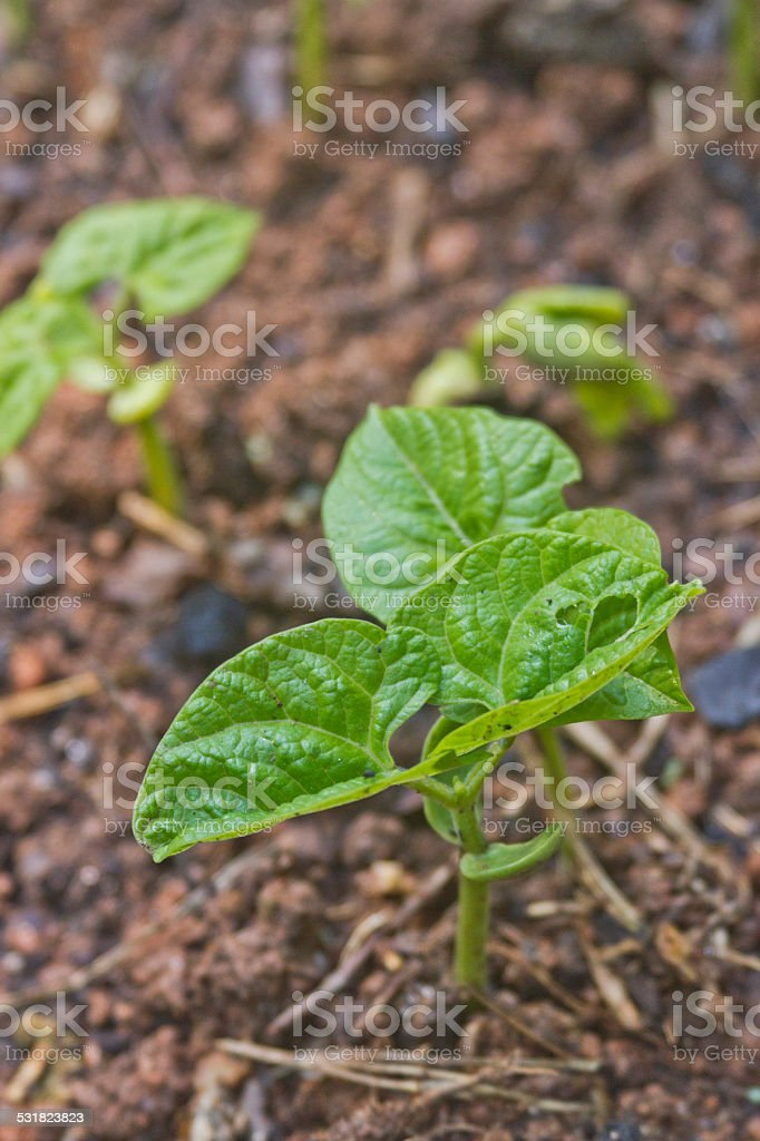 Young Bean Plant Growing in a Summer Garden stock photo