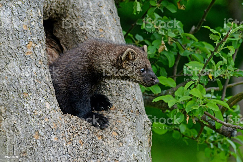 Young beautiful Fisher hangs from a den tree. stock photo