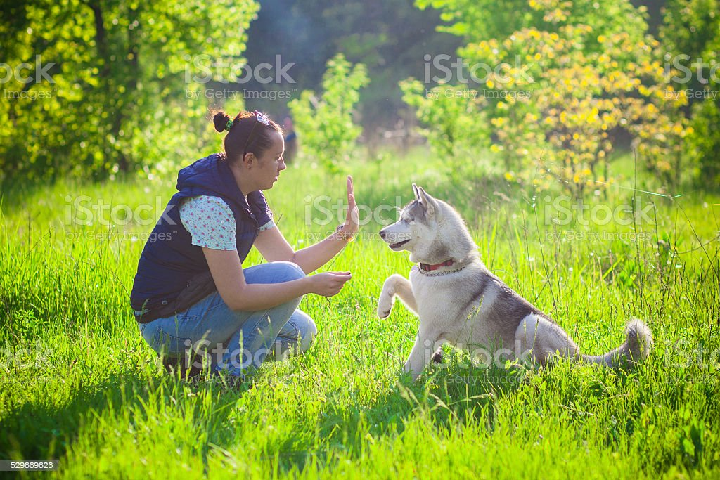 Young beautiful girl playing with husky stock photo