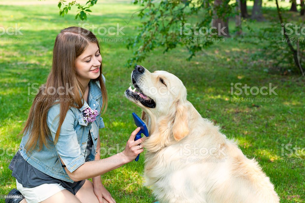 Young beautiful woman combing fur golden retriever dog on a stock photo