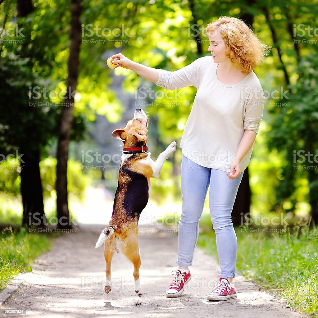 Young beautiful woman playing with Beagle dog stock photo