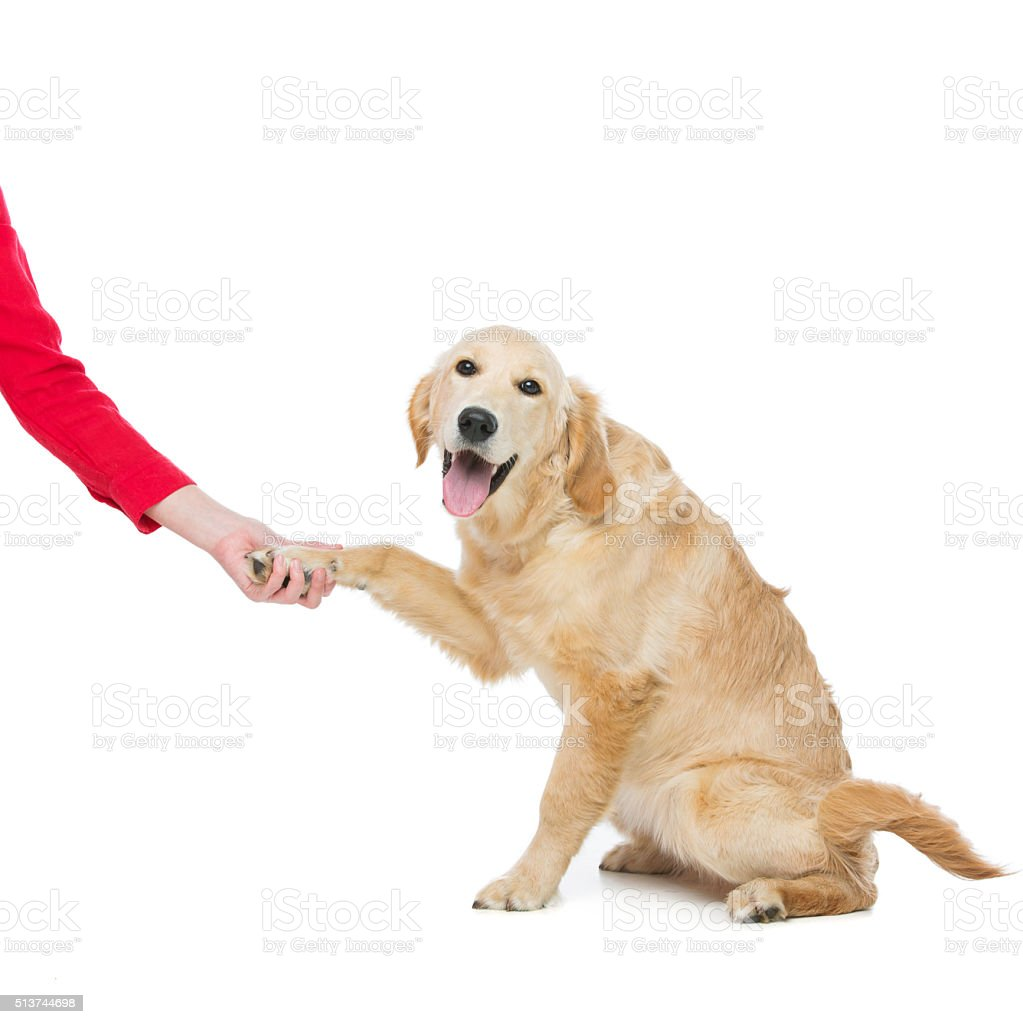 Young beautiul golden retriever dog stock photo