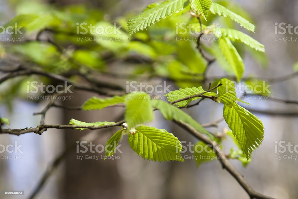Young beech leaves royalty-free stock photo