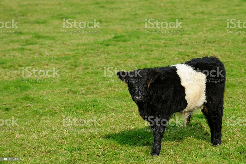 Young belted galloway calf standing in a field stock photo