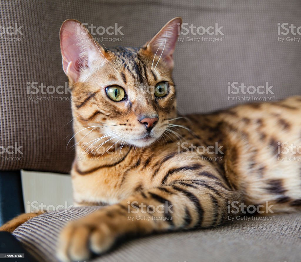 Young Bengal Cat Close-Up Portrait stock photo