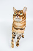 Young Bengal cat on a white background
