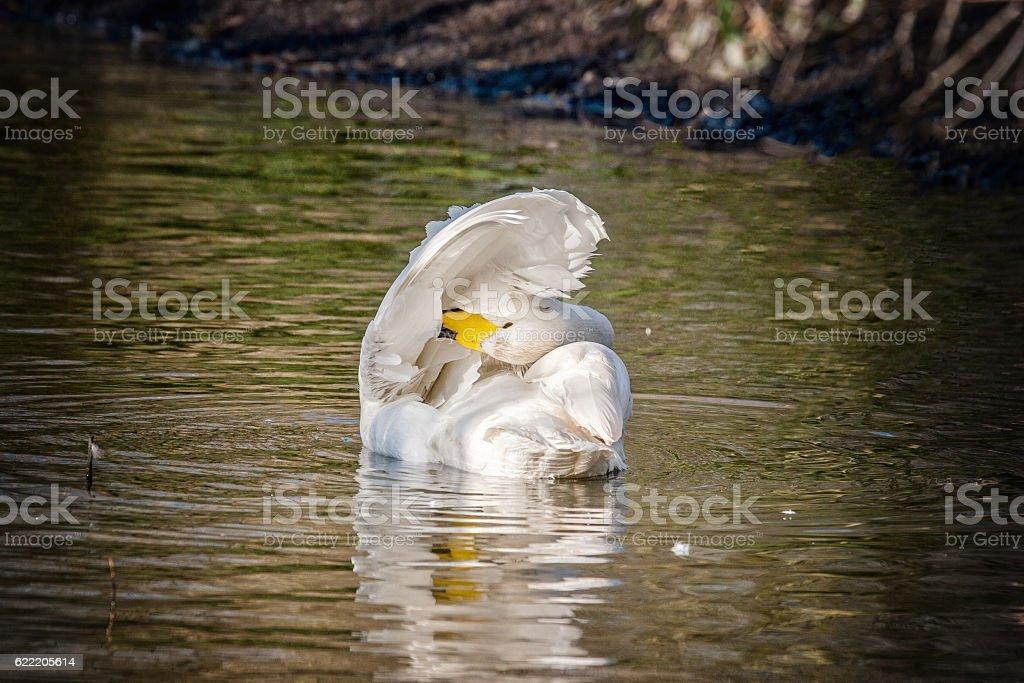 Young bewick swan preening itself on the water stock photo