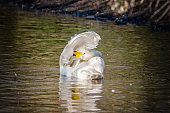 Young bewick swan preening itself on the water