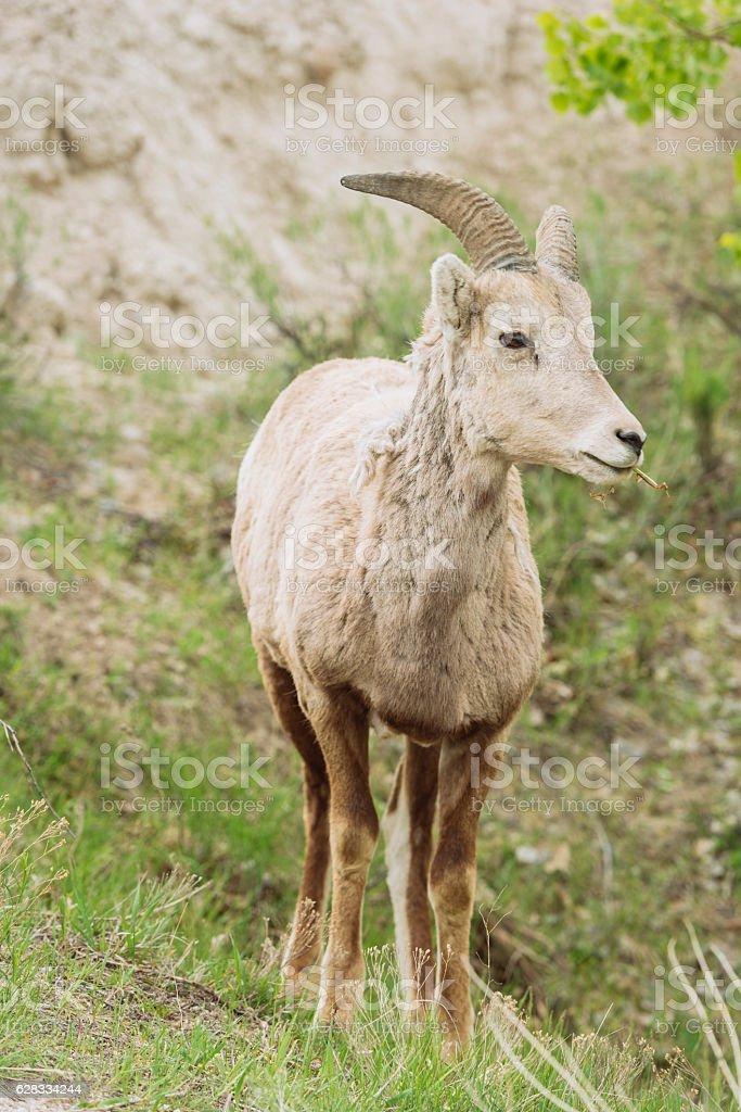 Young Big Horn Sheep in Badlands National Park South Dakota stock photo