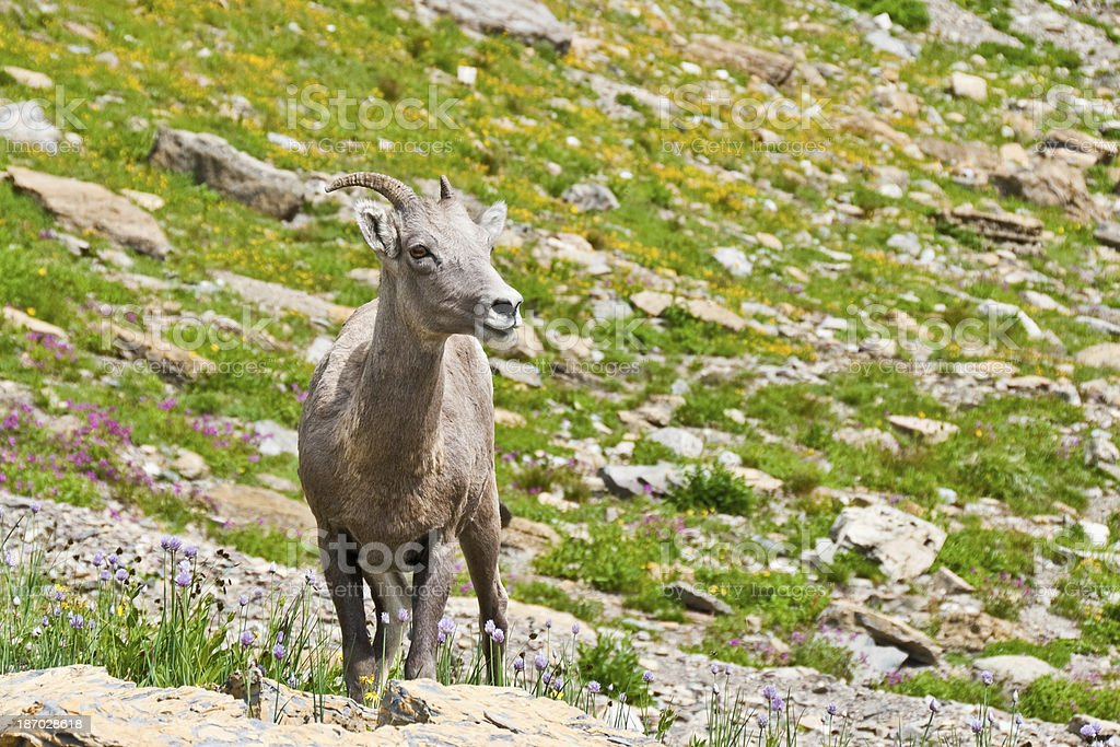 Young Bighorn Ewe royalty-free stock photo
