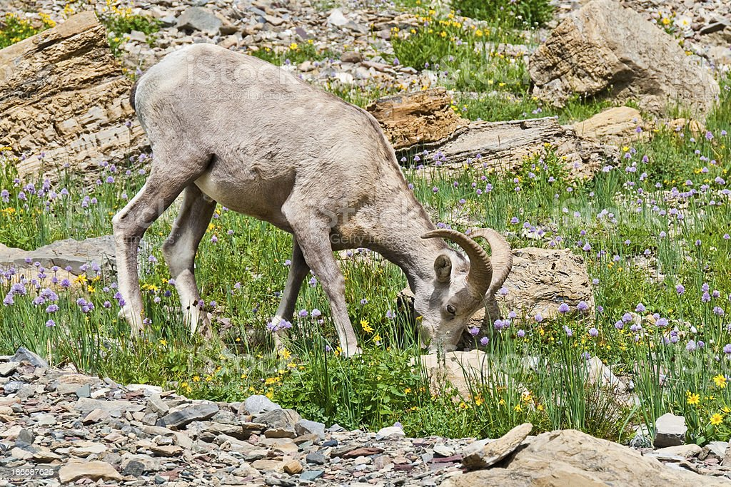 Young Bighorn Ram Grazing royalty-free stock photo