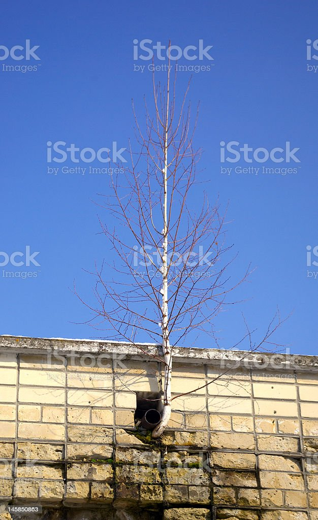 young birch stock photo