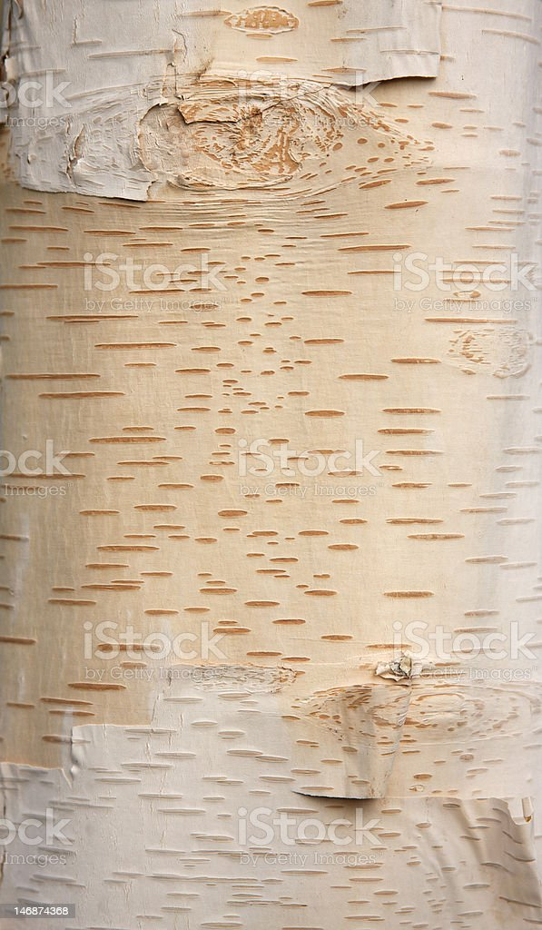 Young Birch Tree Bark - Background royalty-free stock photo
