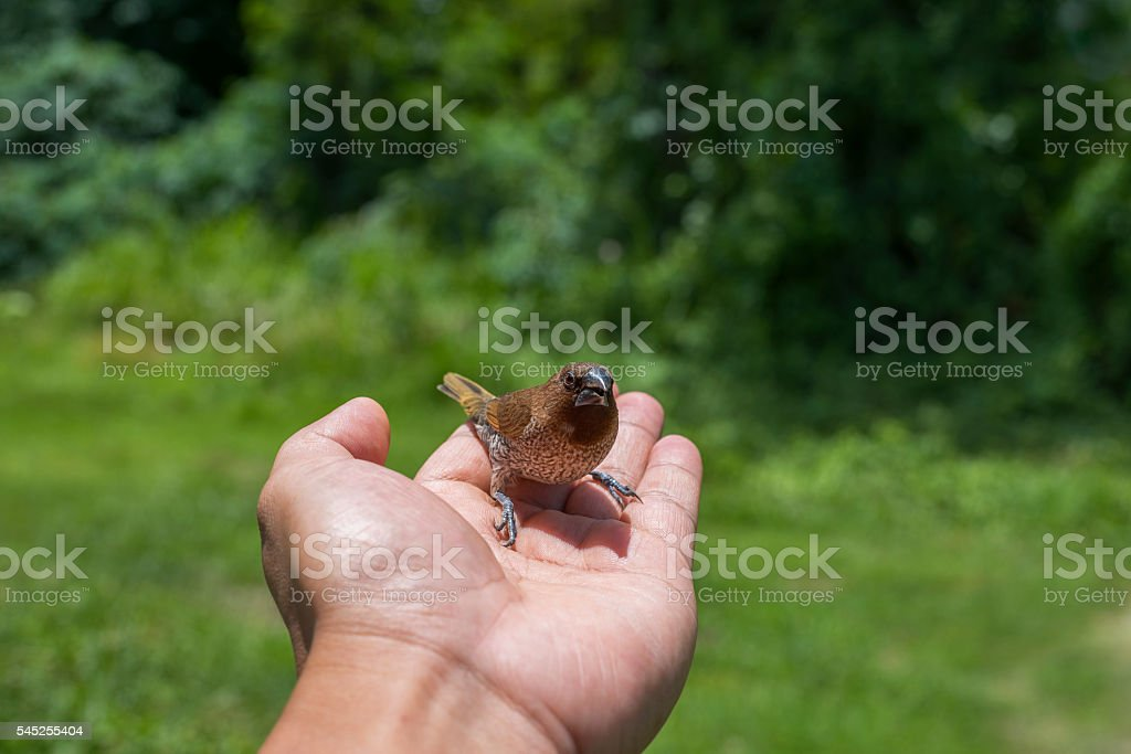 Young Bird Nestling House Sparrow Chick stock photo