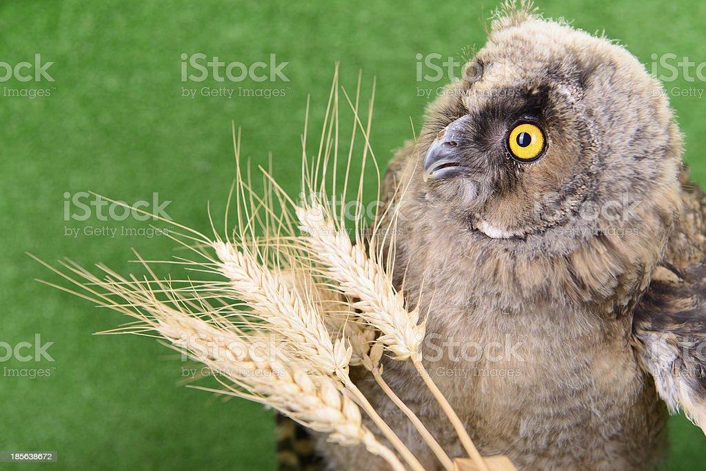 young bird owl royalty-free stock photo