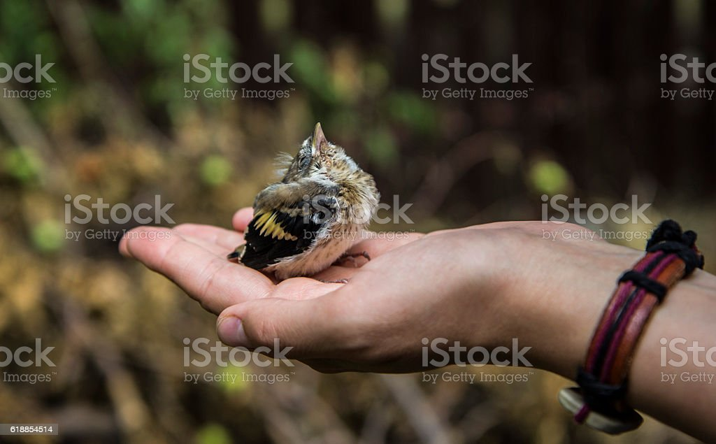 Young Bird Sparrow In Hand stock photo