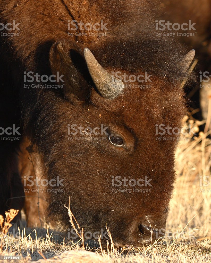Young Bison Feeding stock photo